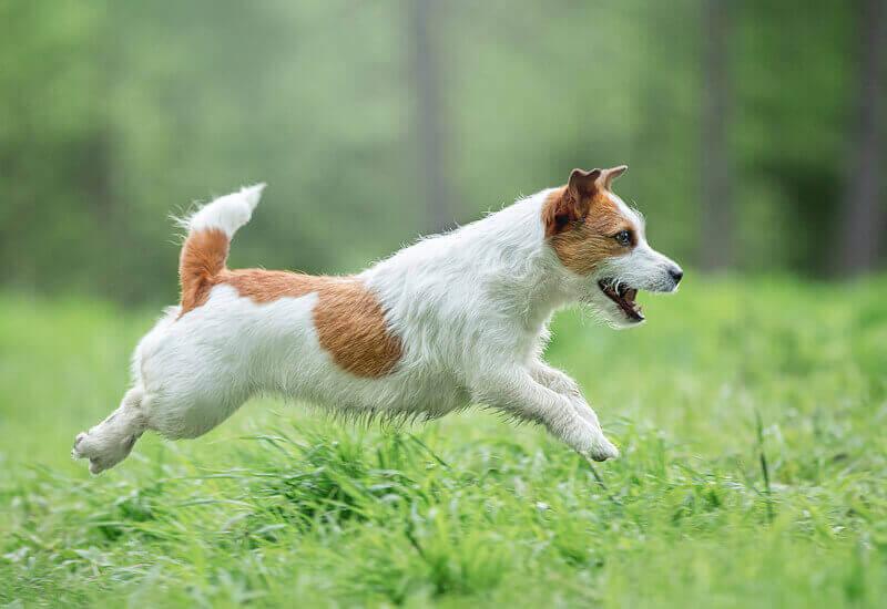 運動量は犬のなかでもトップクラス