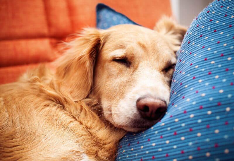 深い胸の大型犬に起こりやすい「胃拡張と胃捻転」