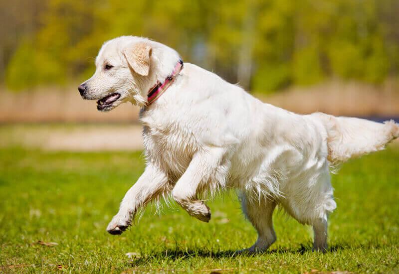 大型犬の純血種に多い「甲状腺機能低下症」