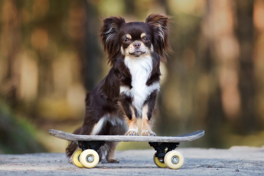 チワワにトリミングは必要?チワワの飼い方に関する基礎知識と注意点