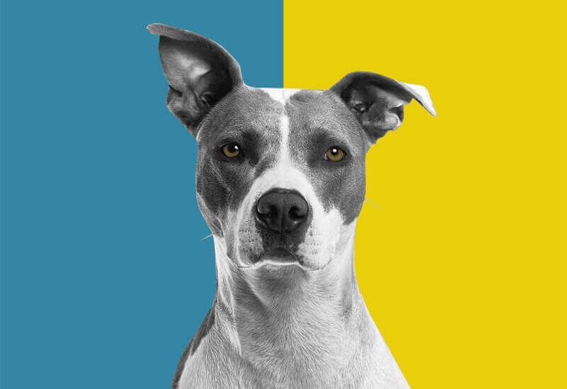 犬がはっきり識別できる色は青と黄色のみ