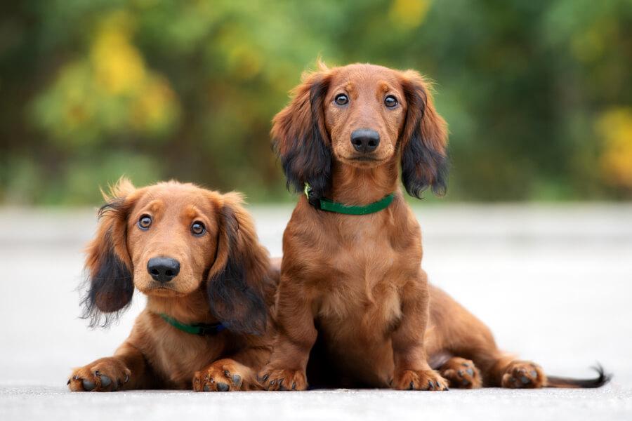 ダックスフンドにトリミングは必要?ダックスフンドの飼い方に関する基礎知識と注意点