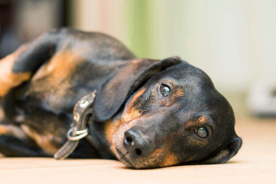 犬は胃酸過多による嘔吐が多い
