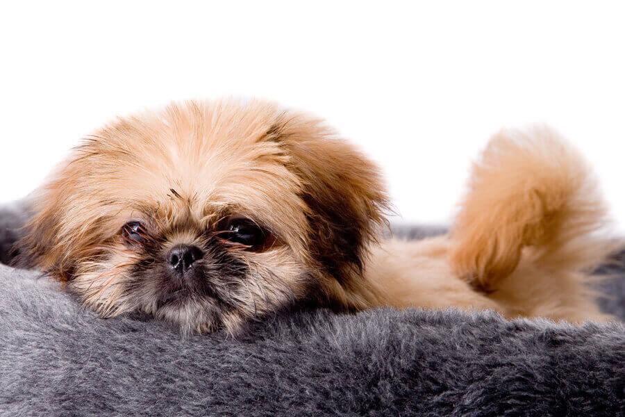 小型犬がかかりやすい水頭症ってどんな病気?原因や症状、好発犬種や治療法について