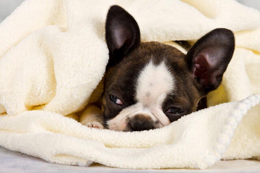 水頭症は小型犬の中でもトイ犬種と短頭種に多発