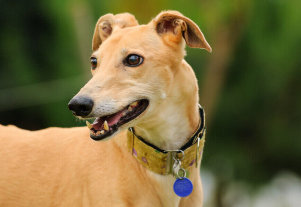 優れた視覚と卓越した走力を併せ持つ「サイトハウンド犬種」の魅力!サイトハウンド犬種の種類や特徴とは?