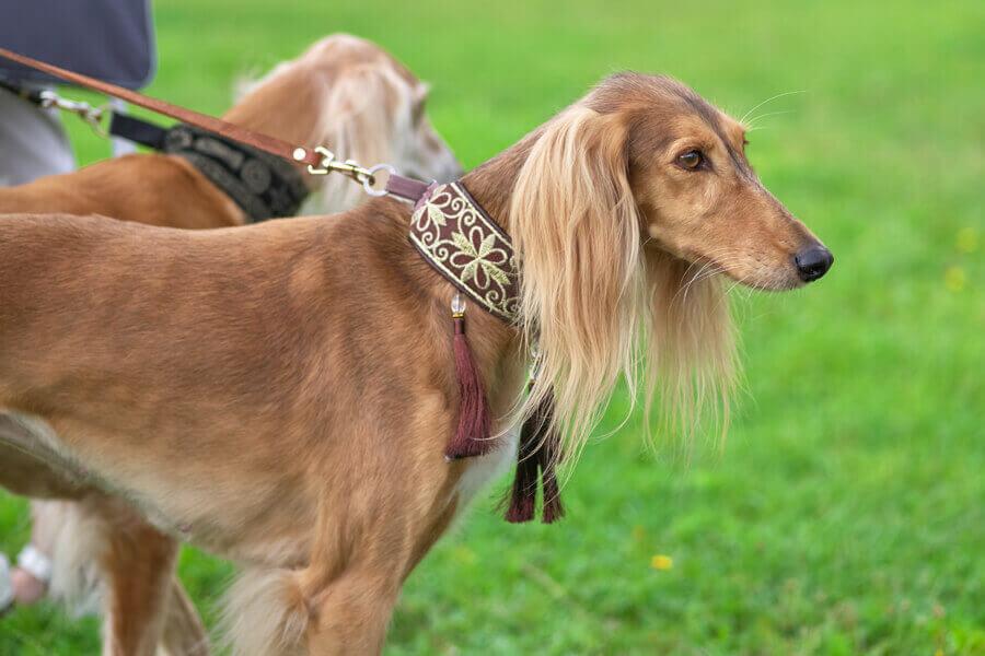 サイトハウンド種は世界最古の猟犬