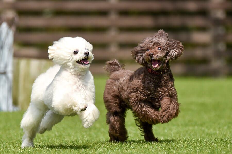 実は元々狩猟犬!活発で運動神経抜群なトイプードル