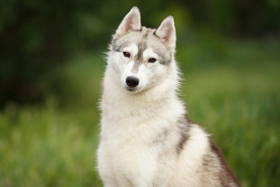 ウェイトプルに向いている犬種ってどんな犬種?