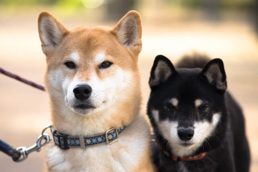 柴犬には特に社会化期のしつけが大切!ストレス緩和のためにも役立つ柴犬のしつけ