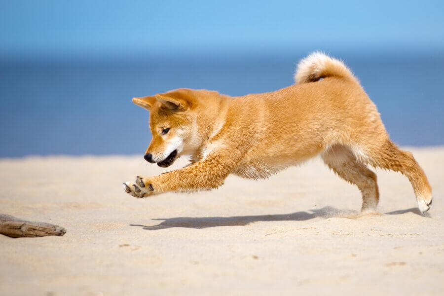 成犬の柴犬に必要な運動量は「体重=距離」が目安