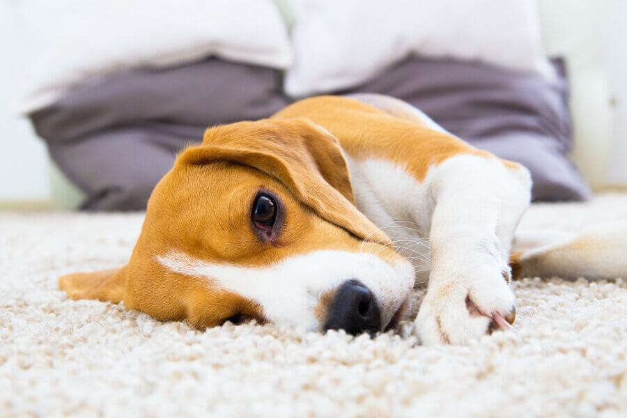犬の脱毛症(ハゲ)の主な原因5つとは?