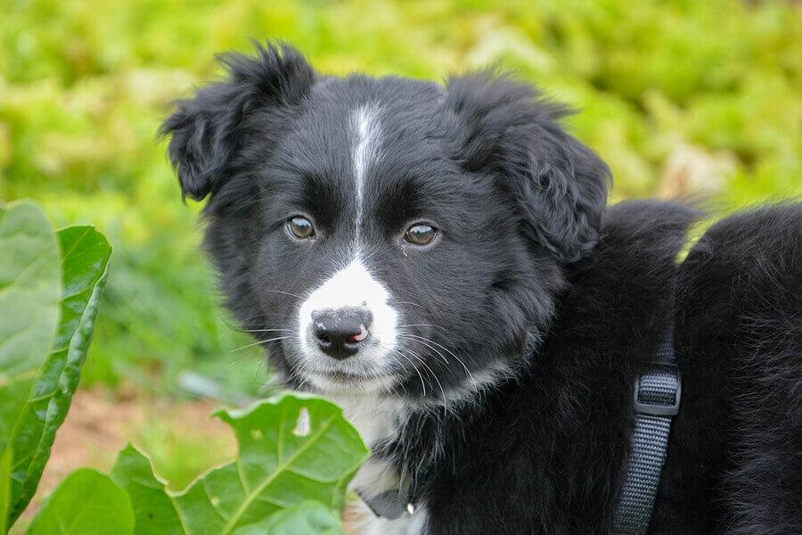 犬はキャベツを食べても大丈夫?キャベツを犬に与えるメリットと注意点