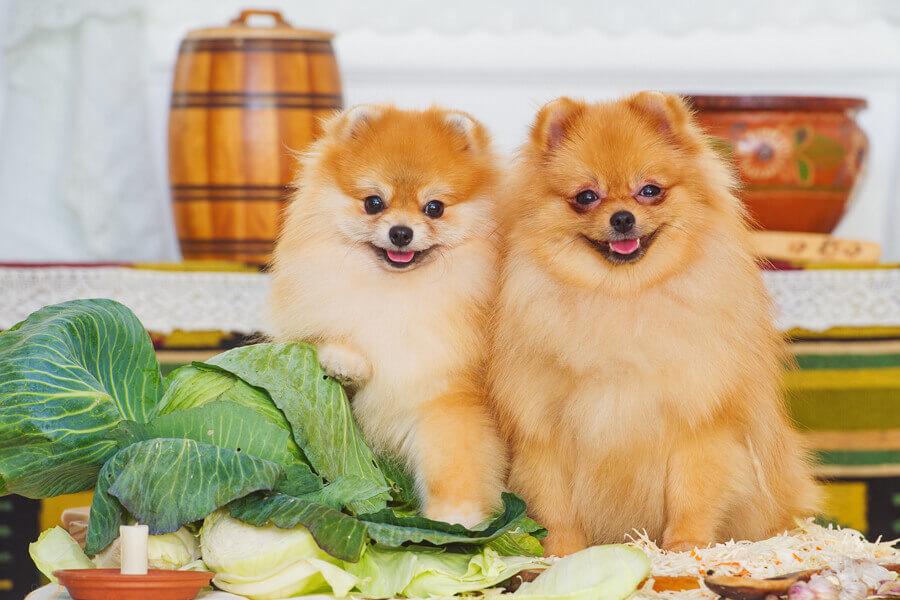 犬はキャベツを食べられる