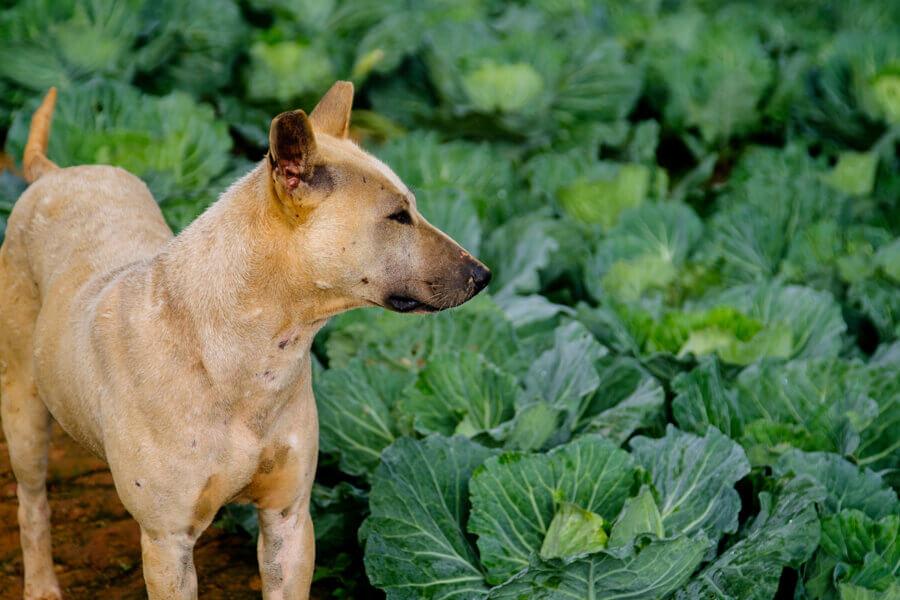 甲状腺疾患がある犬には与えない!