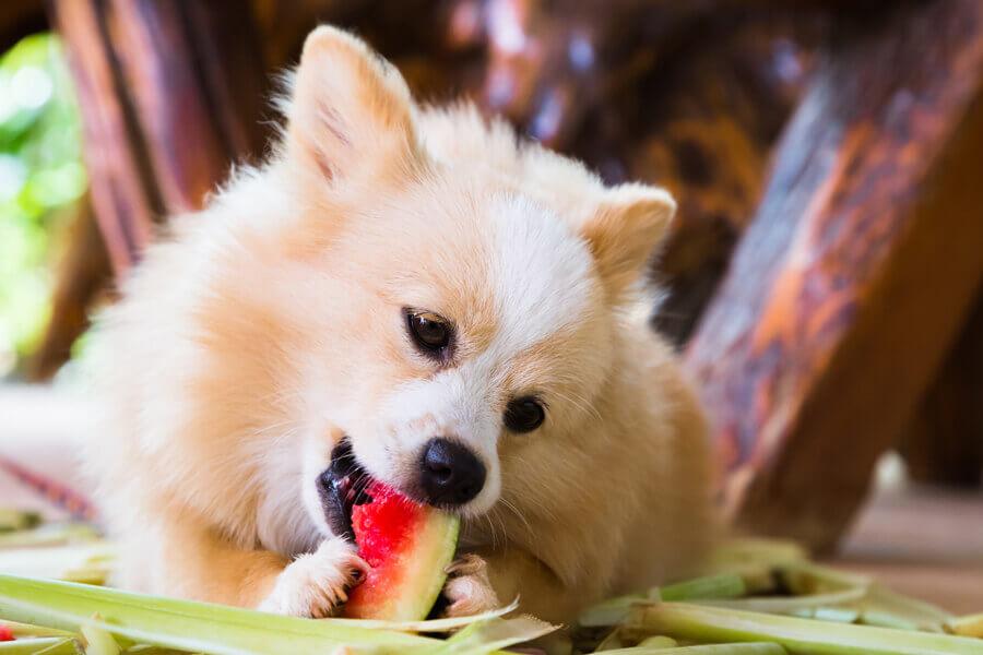 犬はスイカを食べられる
