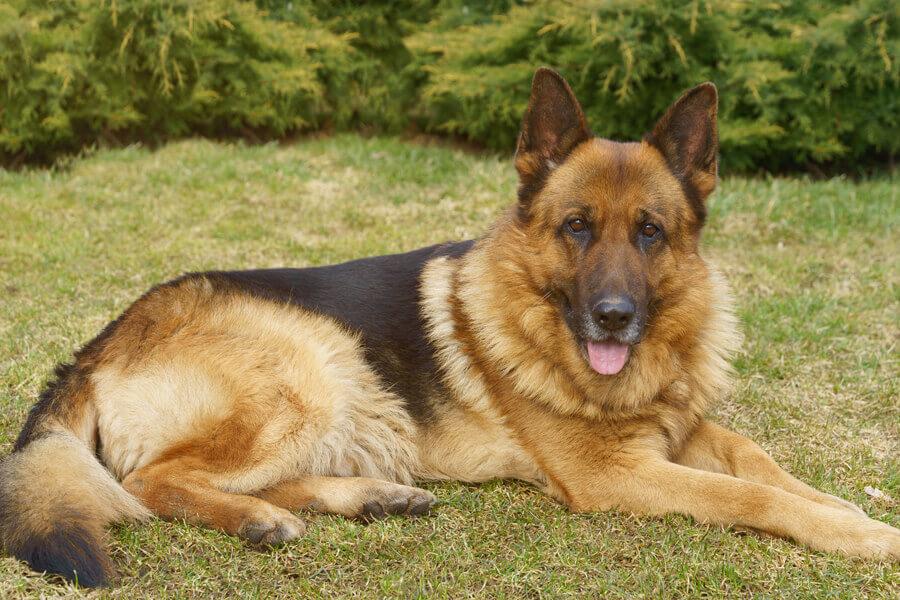 変性性脊髄症になりやすい犬種