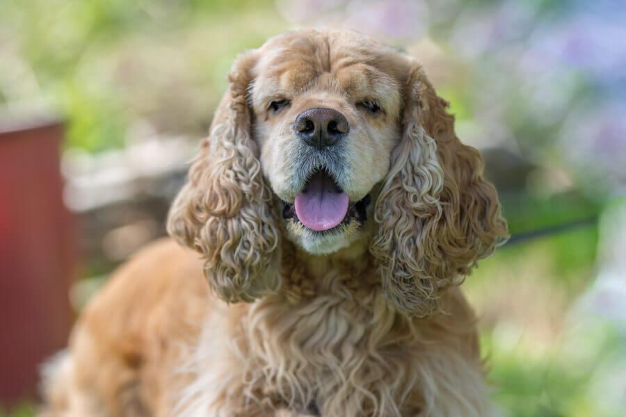 外耳炎になりやすい犬種って?