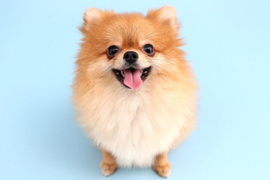 ポメラニアンに多い「偽クッシング症候群(アロペシアX)」ってどんな病気?原因や症状、好発犬種や治療法について