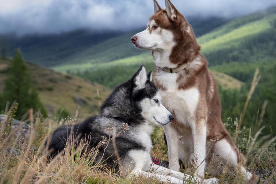 偽クッシング症候群になりやすい犬種