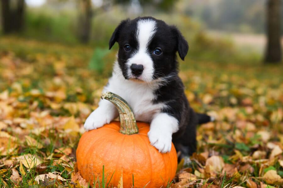 かぼちゃは犬に与えてもOK!与える量や中毒には注意しよう