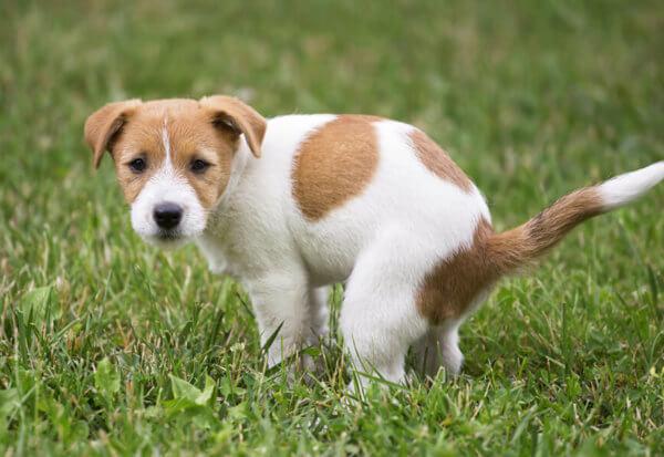 犬の肛門腺絞りってどうやるの?肛門腺絞りが必要なサインと対処法