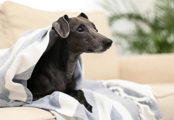 イタリアングレーハウンド(イタグレ)にトリミングは必要?イタリアングレーハウンドの飼い方に関する基礎知識と注意点