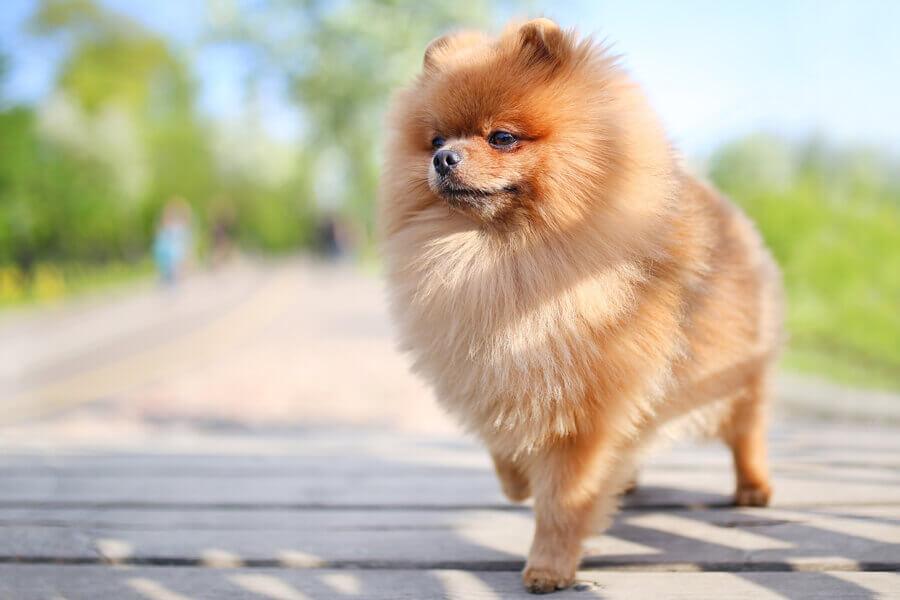 ポメラニアンにトリミングは必要?ポメラニアンの飼い方に関する基礎知識と注意点