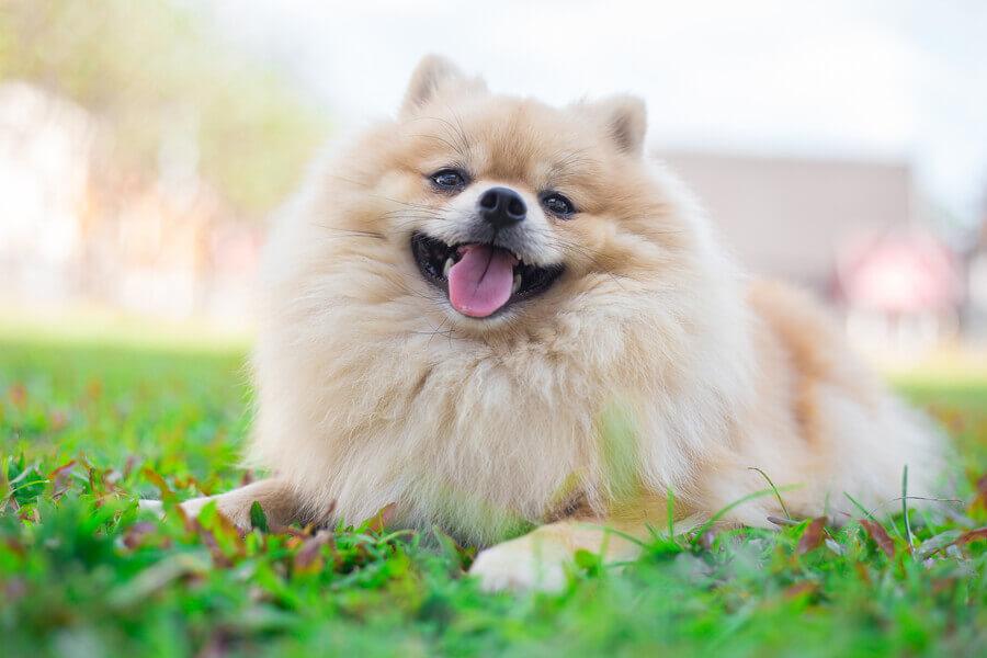 ポメラニアンには魅力がいっぱい。正しい飼い方で幸せな毎日を