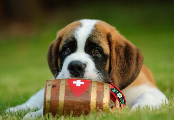 遭難救助犬・セントバーナードが首につけている樽にはどんな意味がある?