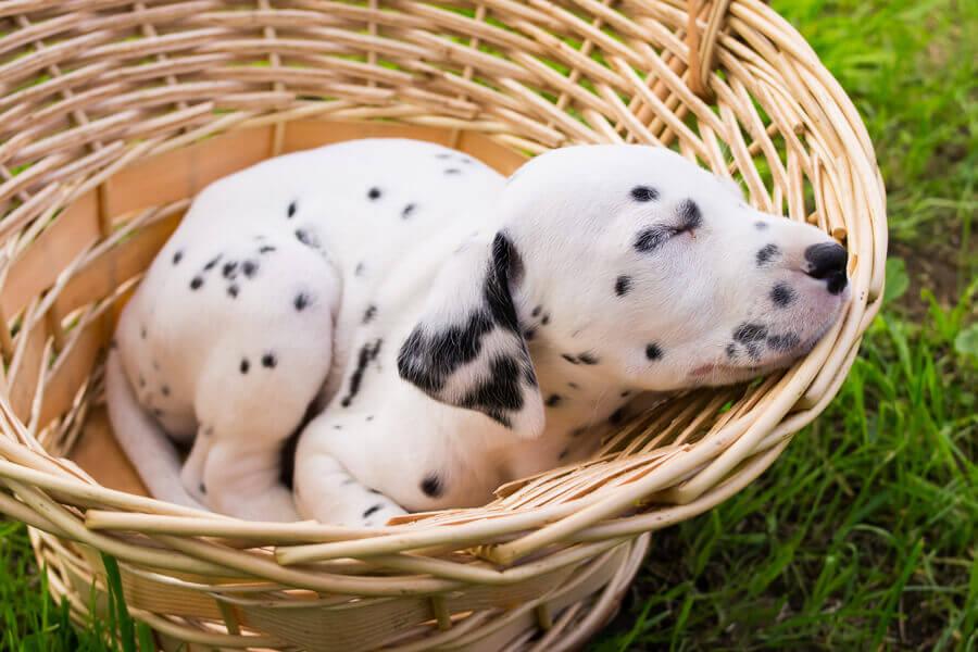 生まれたときは真っ白で、生後10~14日で斑点が出現