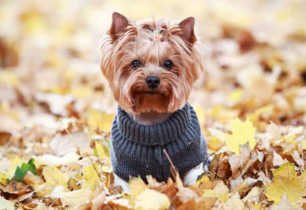ヨークシャーテリアにトリミングは必要?ヨークシャーテリアの飼い方に関する基礎知識と注意点