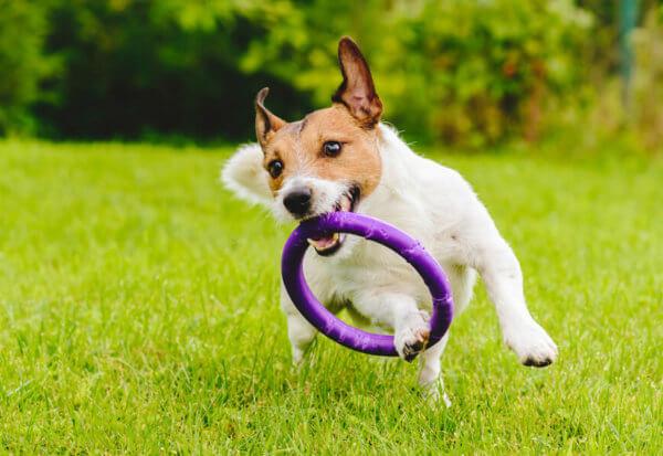 ジャックラッセルテリアにトリミングは必要?ジャックラッセルテリアの飼い方に関する基礎知識と注意点