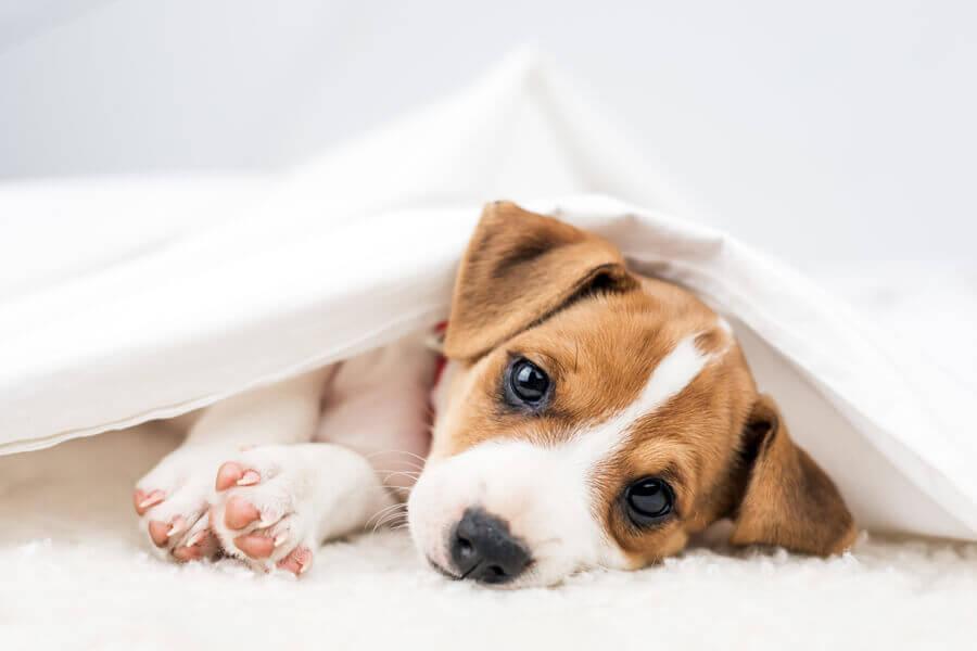 小型犬に多い「膝蓋骨脱臼」