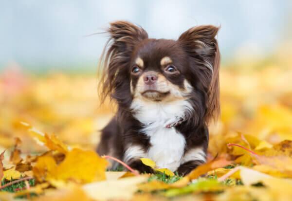 小型犬に多いパテラ(膝蓋骨脱臼)ってどんな病気?パテラの原因や症状、治療費・予防法まとめ