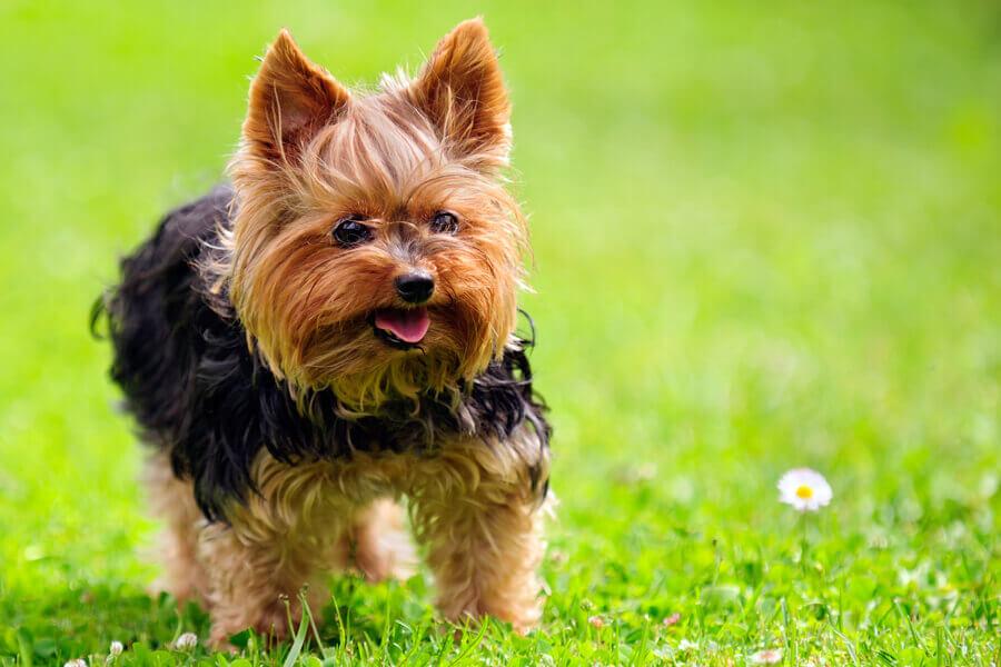 パテラ(膝蓋骨脱臼)になりやすい犬種