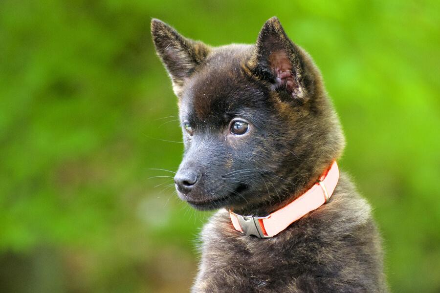 甲斐犬の特徴や性格