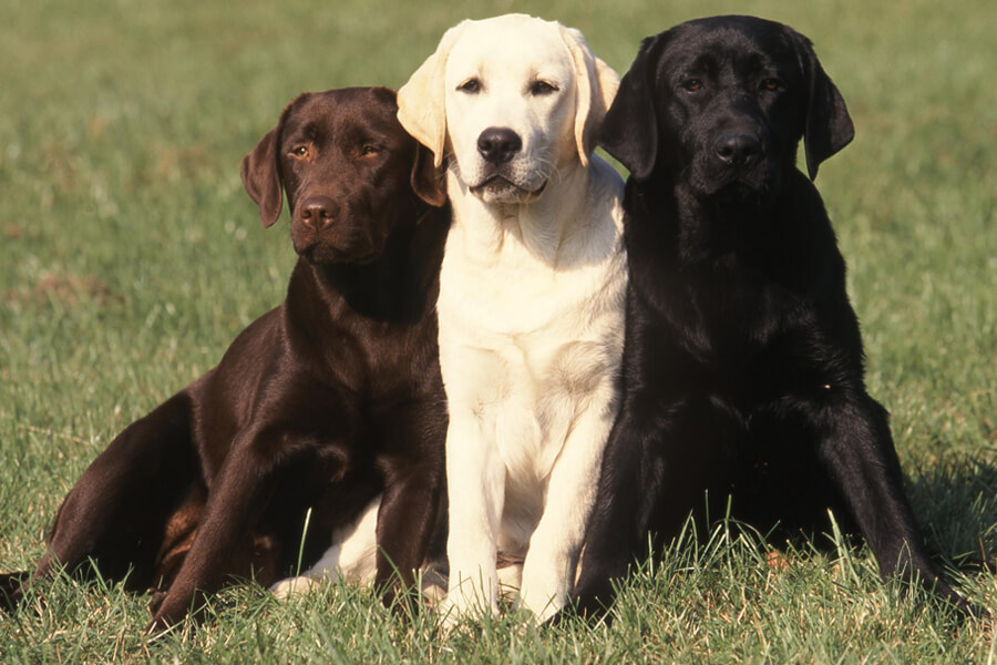 毛色や性別によっても性格が異なる犬種