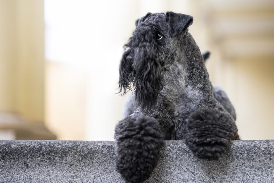 小脳アビオトロフィーになりやすい犬種は?
