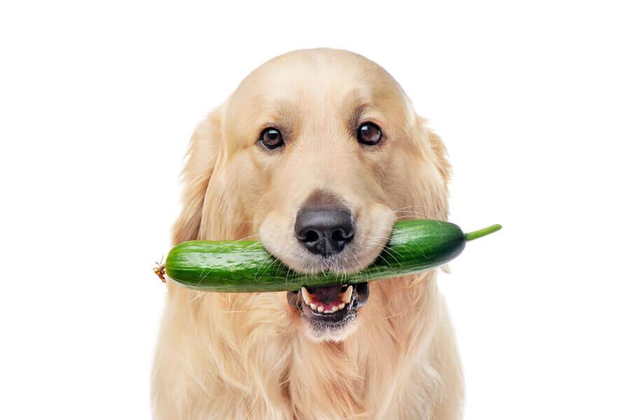 きゅうりは犬に与えてOK!与えすぎやアレルギーには注意しよう