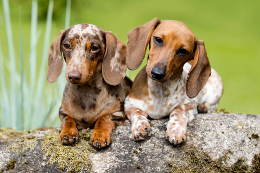 椎間板ヘルニアになりやすい犬種は?