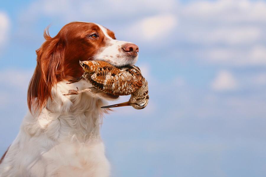 ドッグスポーツ「フィールドトライアル」ってどんな競技?フィールドトライアルに向いている犬種やトレーニング方法について