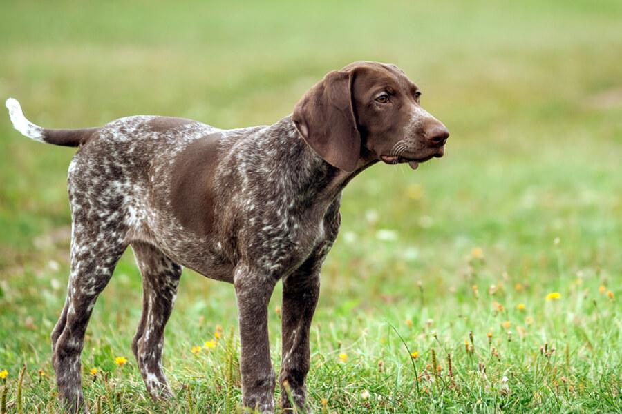 フィールドトライアルに向いている犬種は?