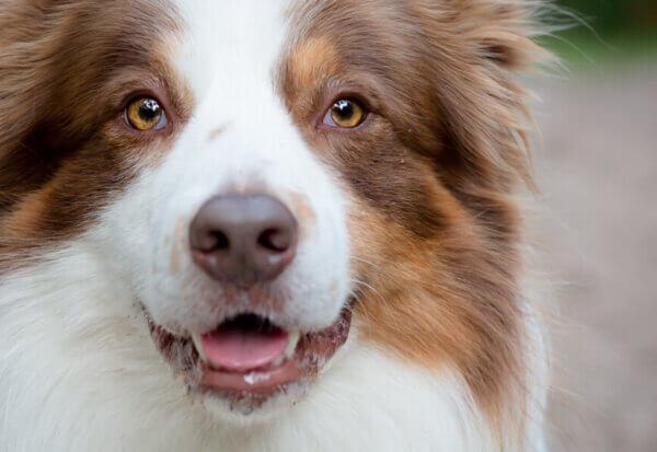 コリー眼異常(コリーアイ)ってどんな病気?コリーアイの原因や症状、好発犬種や治療・予防法について