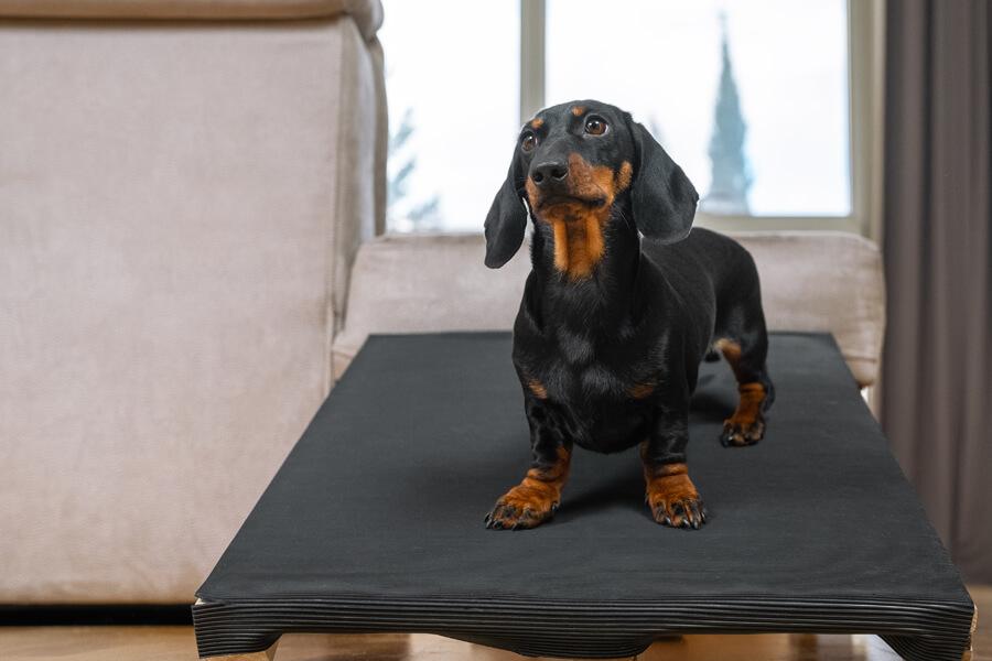胴長・短足の犬種は要注意「椎間板ヘルニア」
