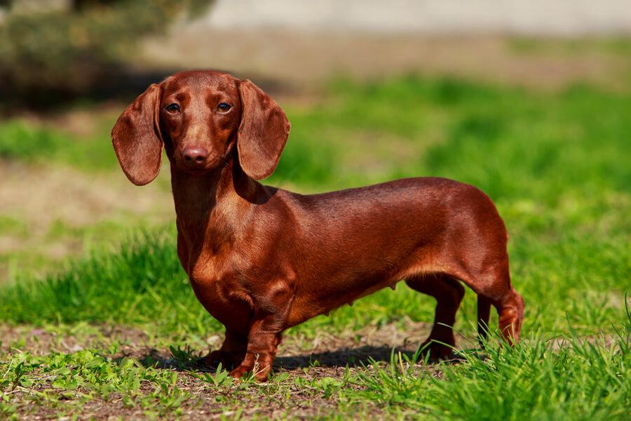 皮脂が多い犬種の発生率が高い「マラセチア性皮膚炎」