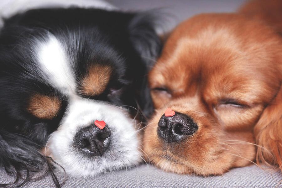 犬の僧帽弁閉鎖不全症ってどんな病気?僧帽弁閉鎖不全症の原因や症状、治療法・治療費・予防法について