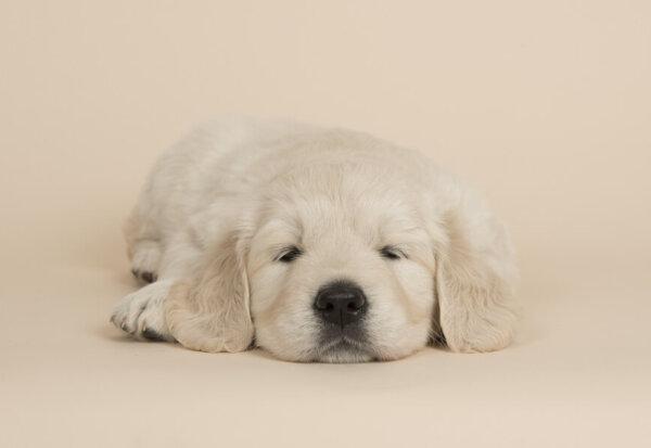 犬の筋ジストロフィーってどんな病気?筋ジストロフィーの原因や症状、好発犬種や治療・予防法について