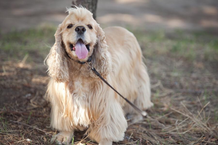アメリカンコッカースパニエルにトリミングは必要?アメリカンコッカースパニエルの飼い方に関する基礎知識と注意点