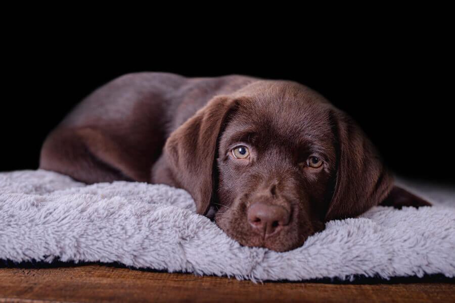 犬にチョコレートを与えてはいけない理由